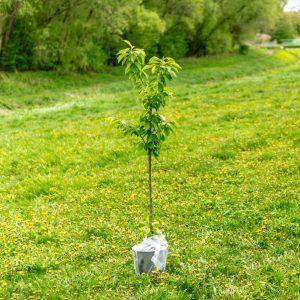 Tree Planting 植树